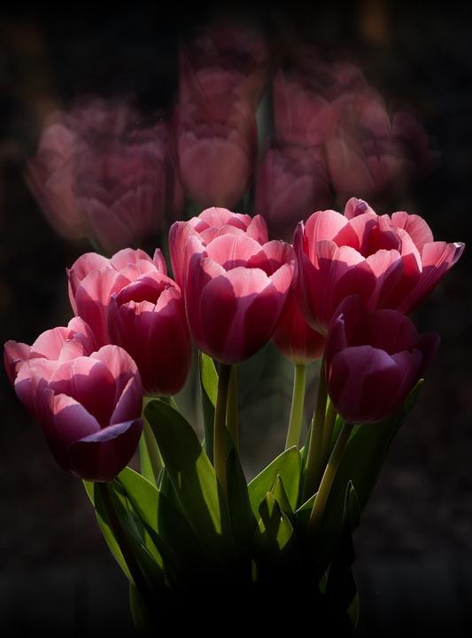 Tulip, Flower, Nature, Flora, Leaf