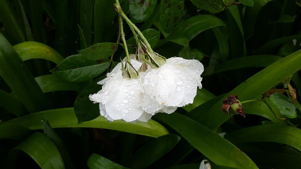 Flower, Water, Nature, White
