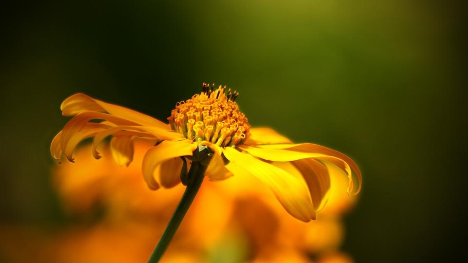 Flower, Wild Flower, Yellow, Orange, Nature, Bloom