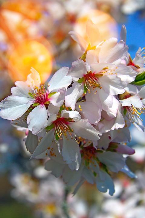 Flower, Cherry, Plant, Branch, Nature, Wood, Garden