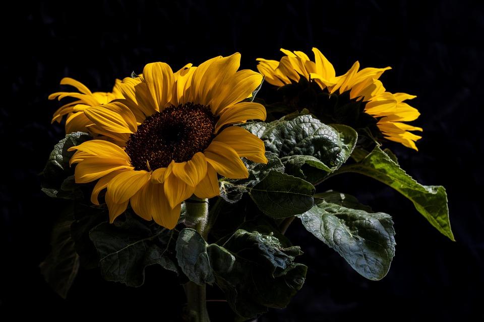 Sunflower, Flower, Bloom, Yellow, Blossom, Nature