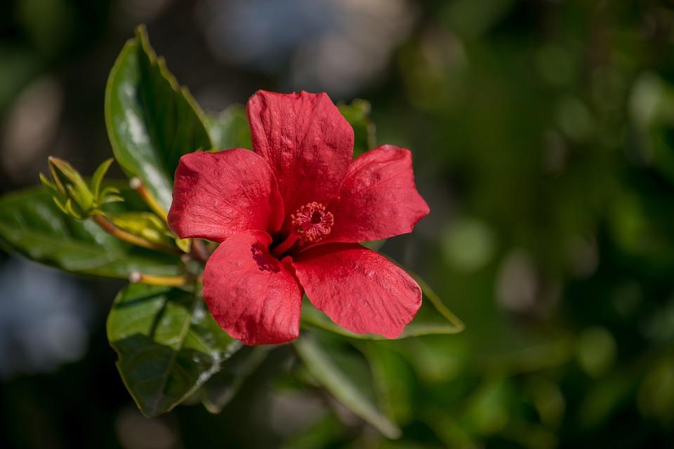 Hibiscus, Flower, Network, Nature, Pistil, Garden