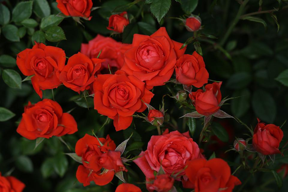 Rose, Red, Flower, Petals, Plant, Supplies, Nice