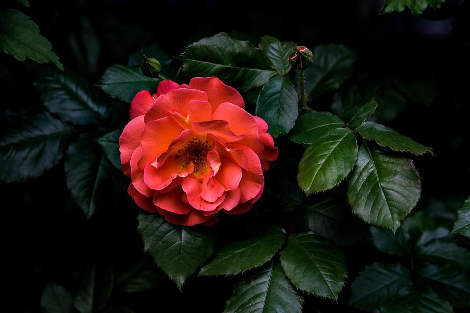 Nice, Flower, Red