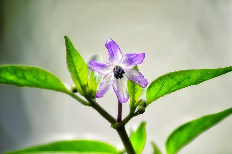 Browallia Speciosa, Flower, On The Tree, Nyc, Natural