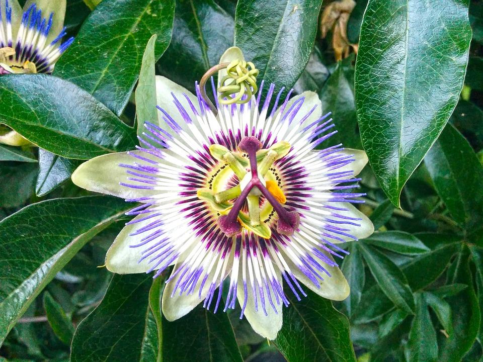 Flower, Flower Of Passion, Nature, Purple Flower