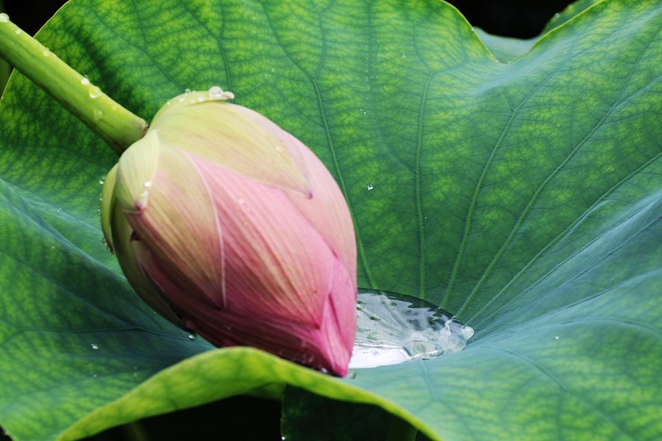 Leaf, Plants, Nature, Garden, Lotus, Flower Of Tears