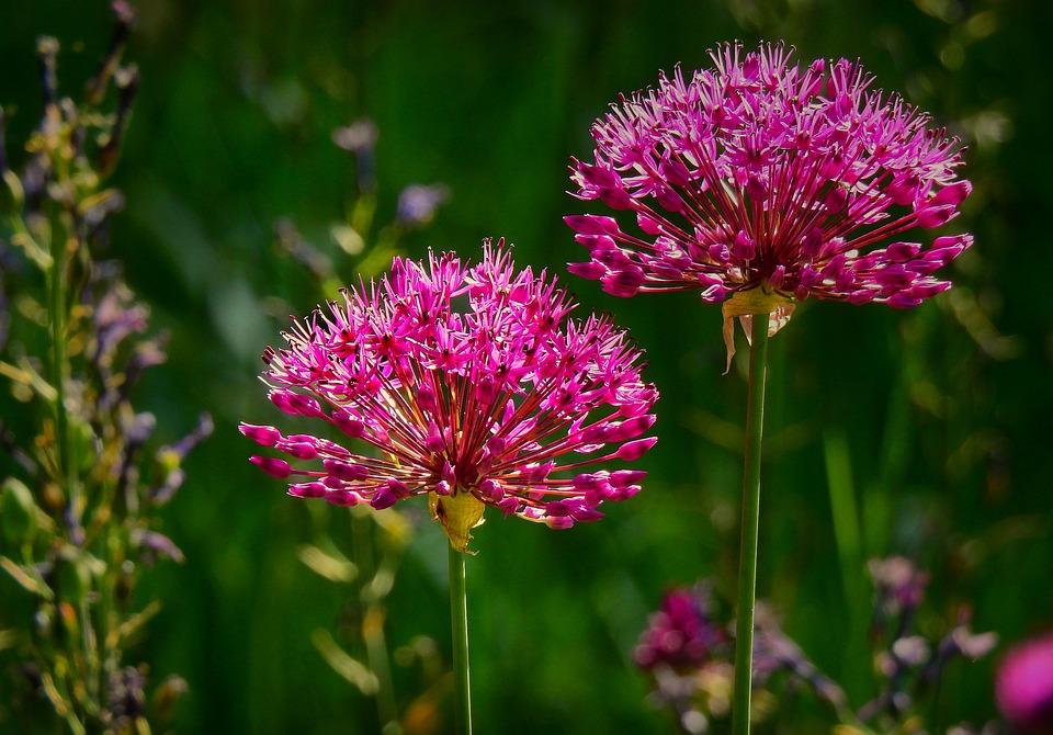 Onion, Allium, Flower, Plant, Purple, Blossom, Herbal
