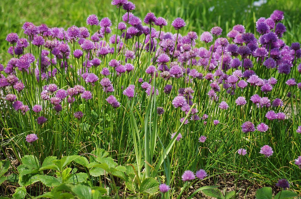 Chives, Flower, Onions