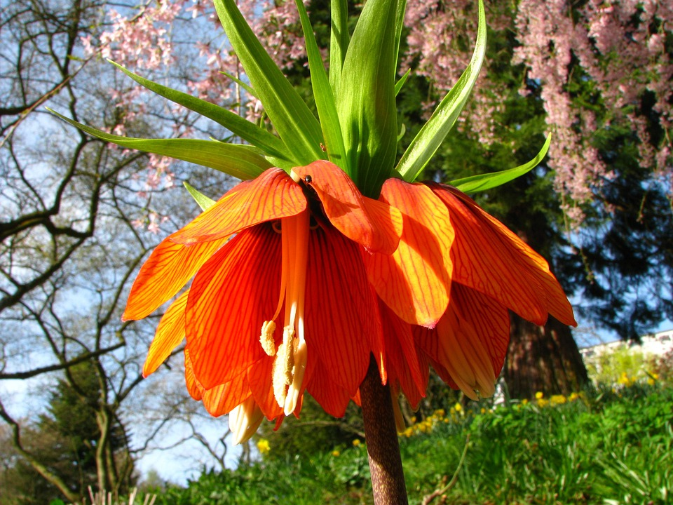 Imperial Crown, Flower, Blossom, Bloom, Orange, Red