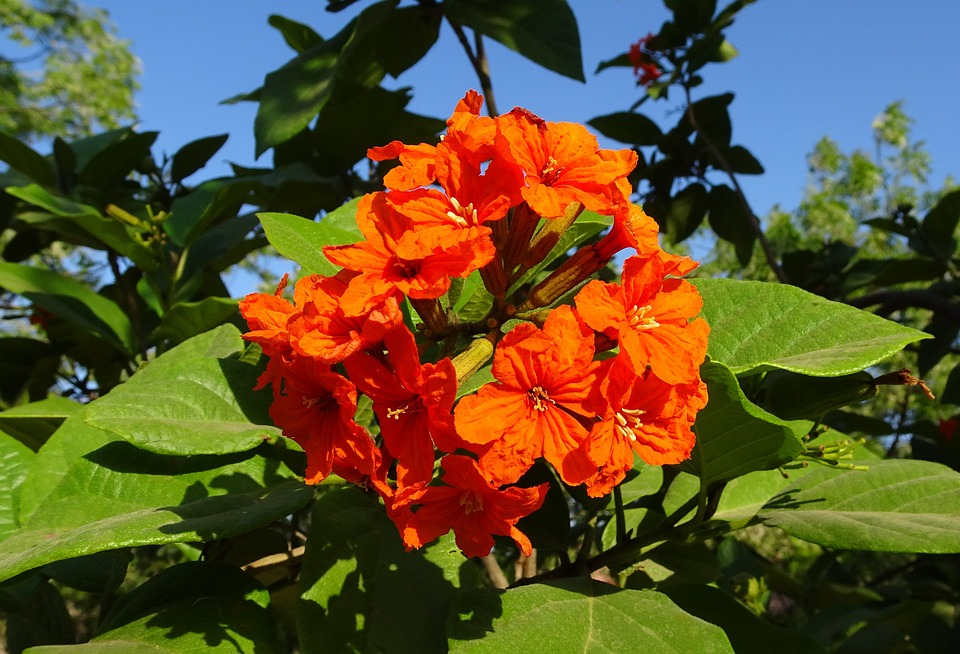 Flower-Orange-Geiger-Tree-Scarlet-Cordia-Orange-2203999 Orange Flower House Plant Identification on orange flower top, orange flower garden, orange flower design, orange flower with black center, orange tropical flowers, orange tropical plants, orange flowers and their names, flower seedlings identification, yellow texas wildflower identification, orange flower seeds, orange flower petal, orange tree identification, garden flower identification, orange flower annuals, orange flower evergreen, maine plants identification, orange flower recipes, orange flowering plants, yellow flower identification, perennial flower identification,