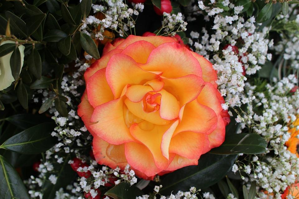 Flower, Rose, Orange
