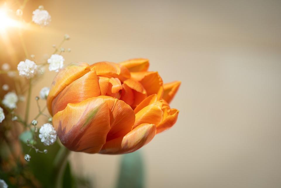 Tulip, Flower, Orange, Blossom, Bloom, Orange Tulip
