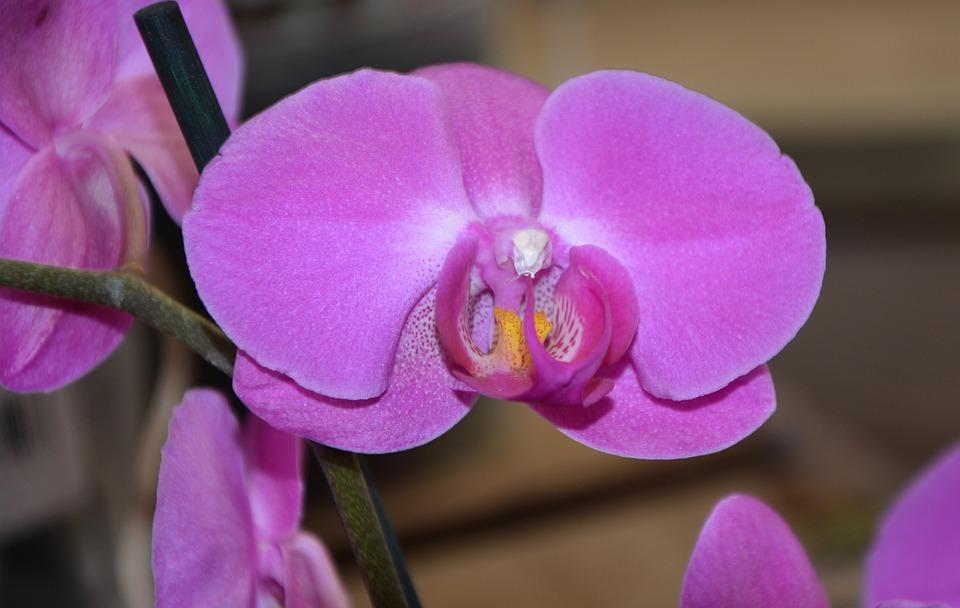 Flower Orchid, Violet Colour, Decoration, Gift Offer