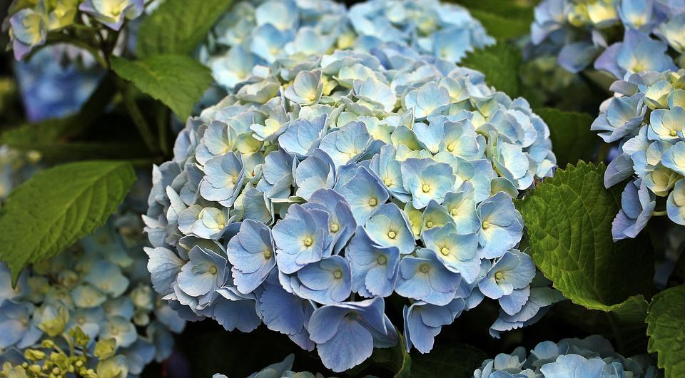 Hydrangea, Flower, Ornamental Flower, Plant