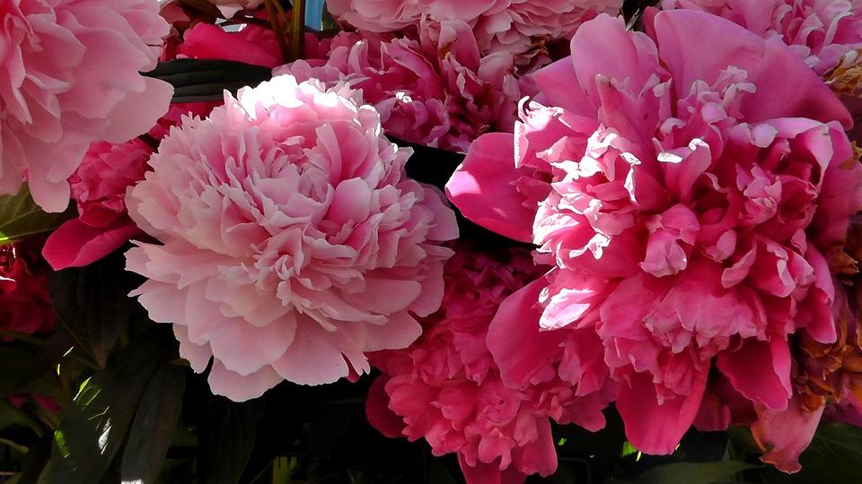 Peony, Flower, Ornamental Plant, Garden, Nature, Spring