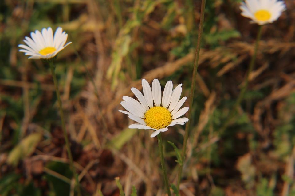 Flower, Wildflower, Daisy, Outdoors
