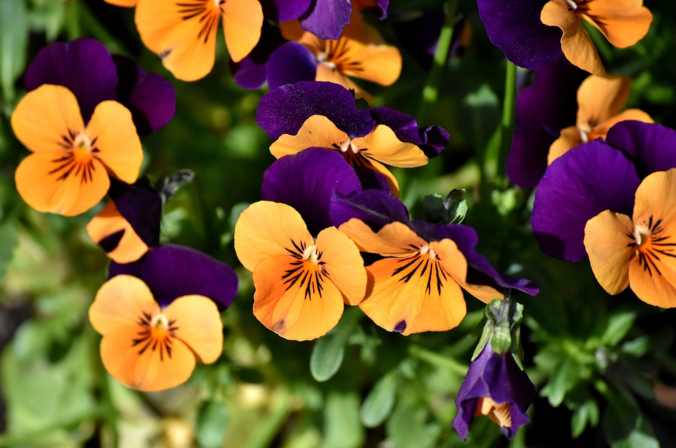 Pansy, Flower, Spring, Close Up, Blossom, Bloom, Nature