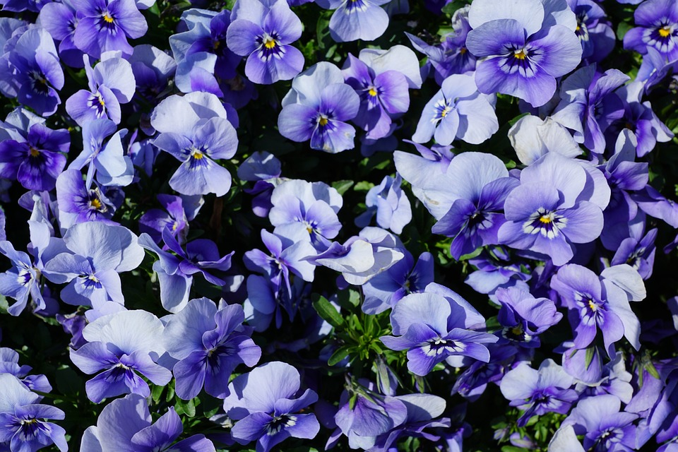 Pansy, Flower, Purple, Nature