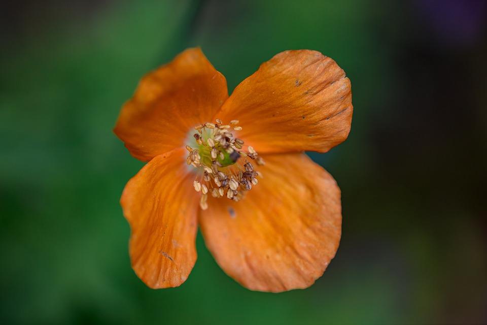 Fire Poppy, Flower, Plant, Poppy, Papaver