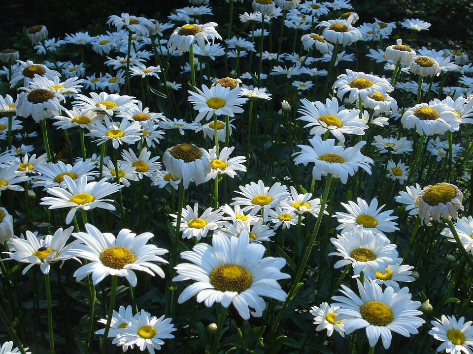 Daisy, Many, Bloom, Flower, Nature, Summer, Park
