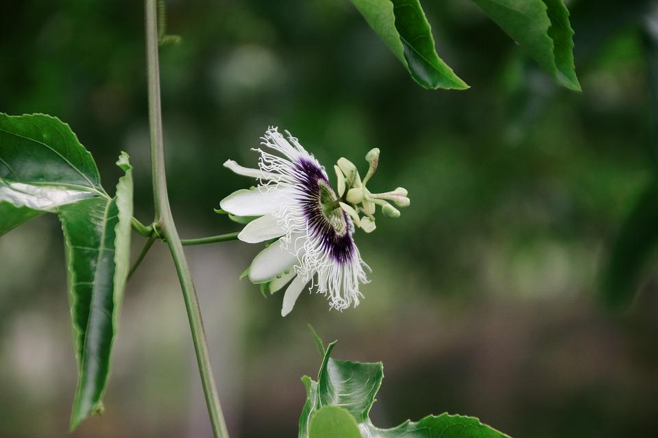 Passion Fruit Flower, Passionflower Flowers, Flower