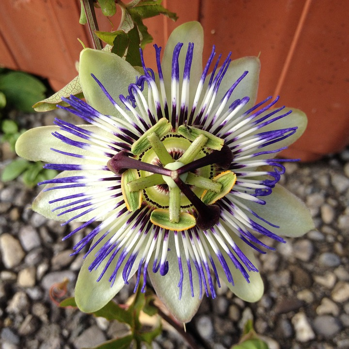 Passionflower, Flower, Summer