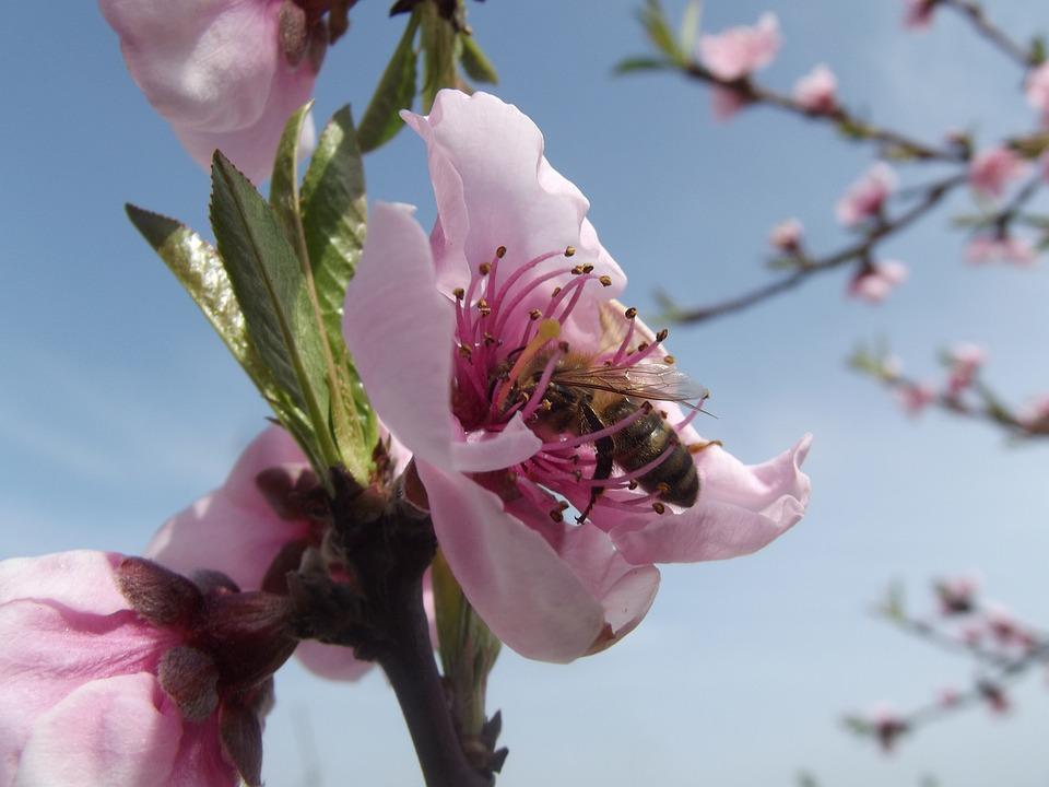 Flower, Peach Blossom, Bee, Close, Macro, Nature