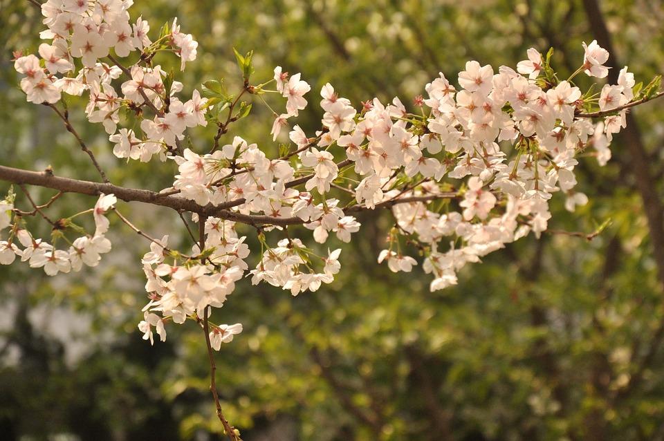 Peach Blossom, Woods, Flower