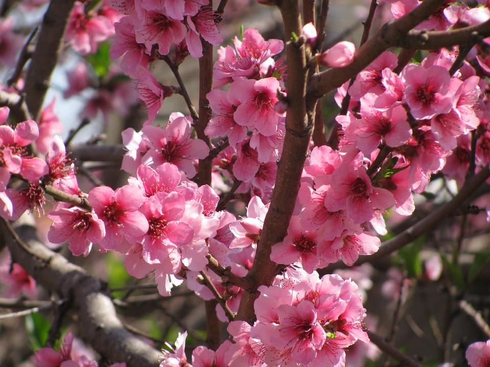 Flower Peach, Pink Flower, Peach, Flowers