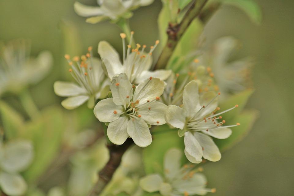 Blossom, Bloom, Flower, Pear, Pear Blossom