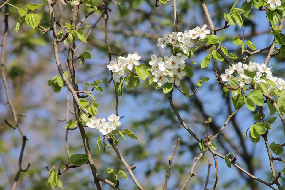 Blossom, Flower, Pear, Spring, Floral, Plant, Blooming