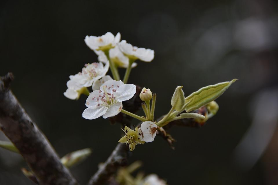 Pear Flower, Flower, Petal, Nature, Spring, White