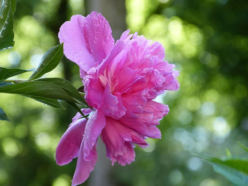 Peony, Blossom, Bloom, Fragrance, Pink, Flower