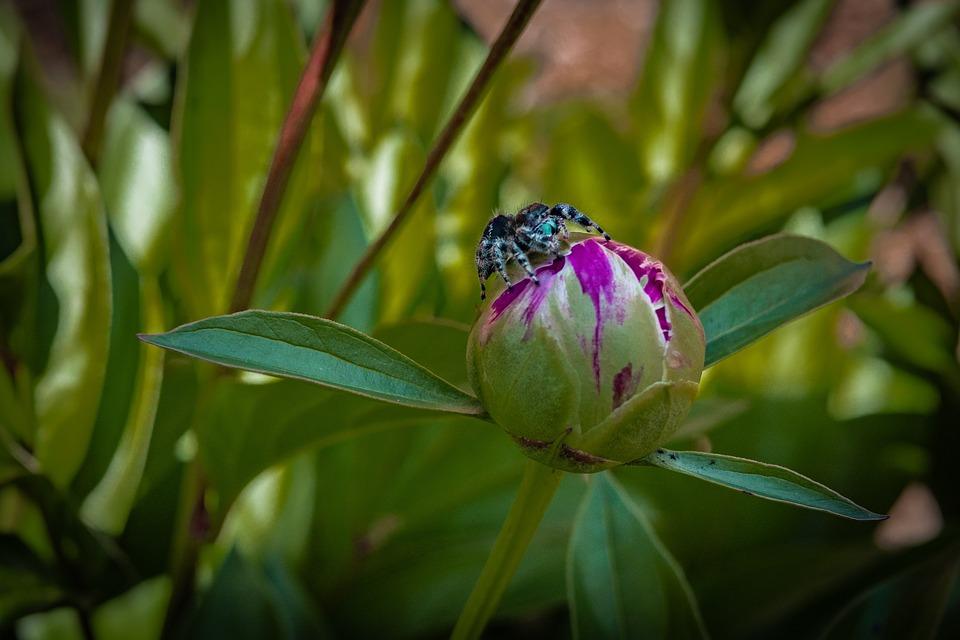 Peony, Bud, Spider, Flower, Red, Spring