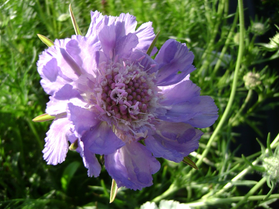 Drakiew Kaukasa, Perennial, Flower
