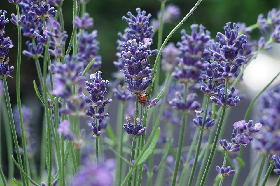 Flower, Lavender, Ladybug, Plant, Perfume, Nature