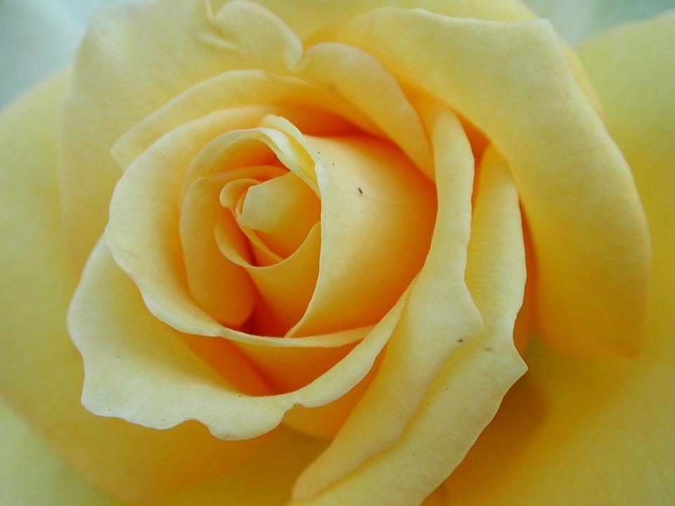 Flower, Petal, Rose, Blooming, Affection, Yellow