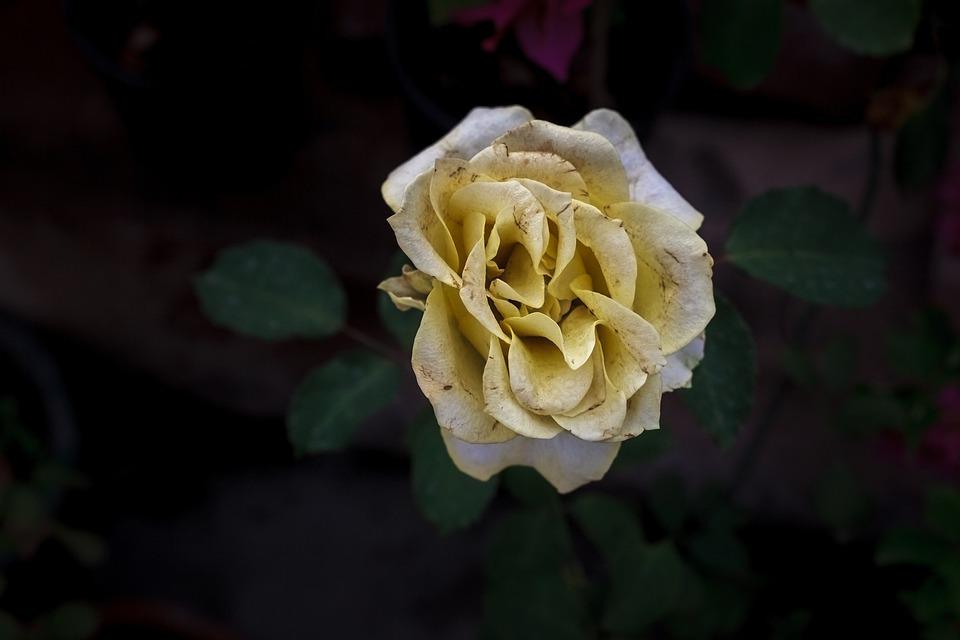 Flower, Rose, Petal, Leaf, Flora, Nature, Floral