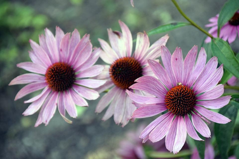 Flower, Nature, Flora, Summer, Outdoors, Petal, Leaf