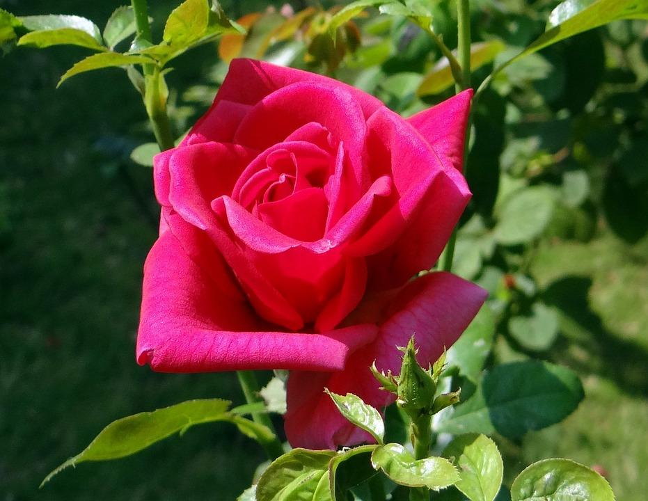Rose, Red, Flower, Bloom, Blooming, Petal, Petals