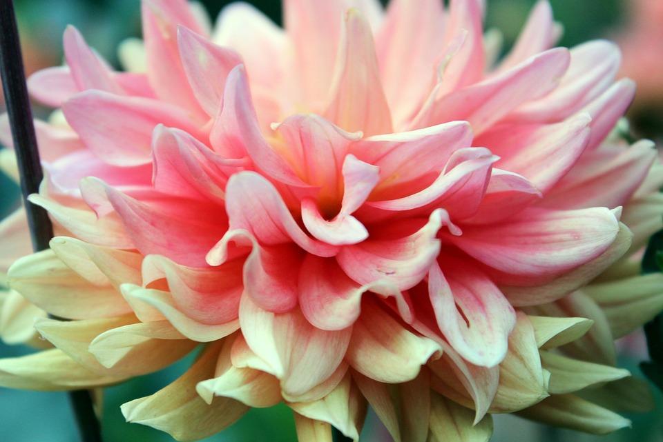 Pink Flowers, Plant, Close, Petals, Flower