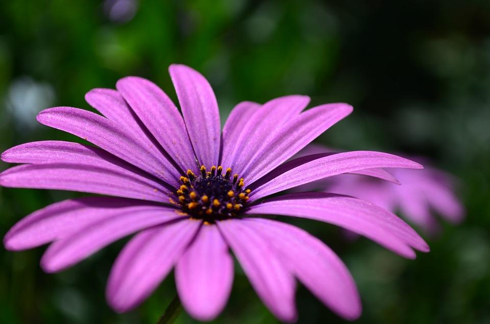 Flower, Daisy, Garden, Petals