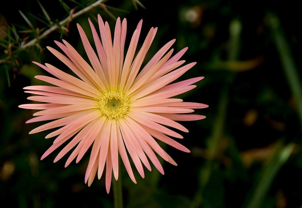 Flower, Gergerba, Pink, Garden, Bloom, Round, Petals