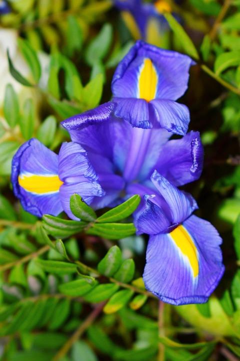 Dutch Iris, Flower, Plant, Iris, Purple Flower, Petals