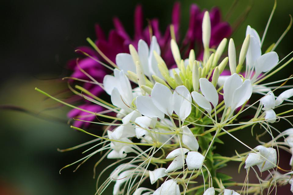 Cleome, Kattensnor, White, Flower, Garden, Petals