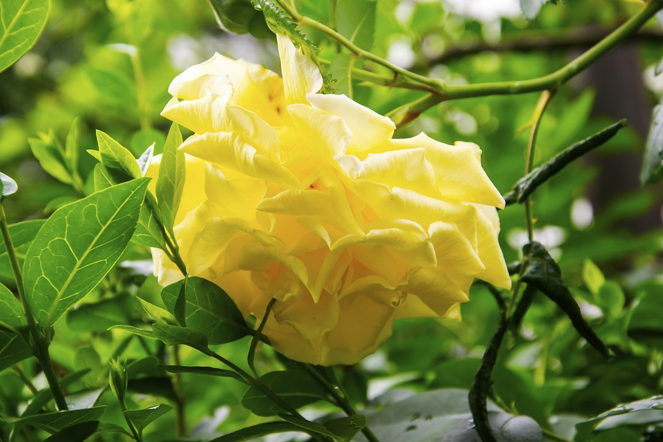Flower, Petals, Leaves, Foliage, Rose, Blooming, Plant