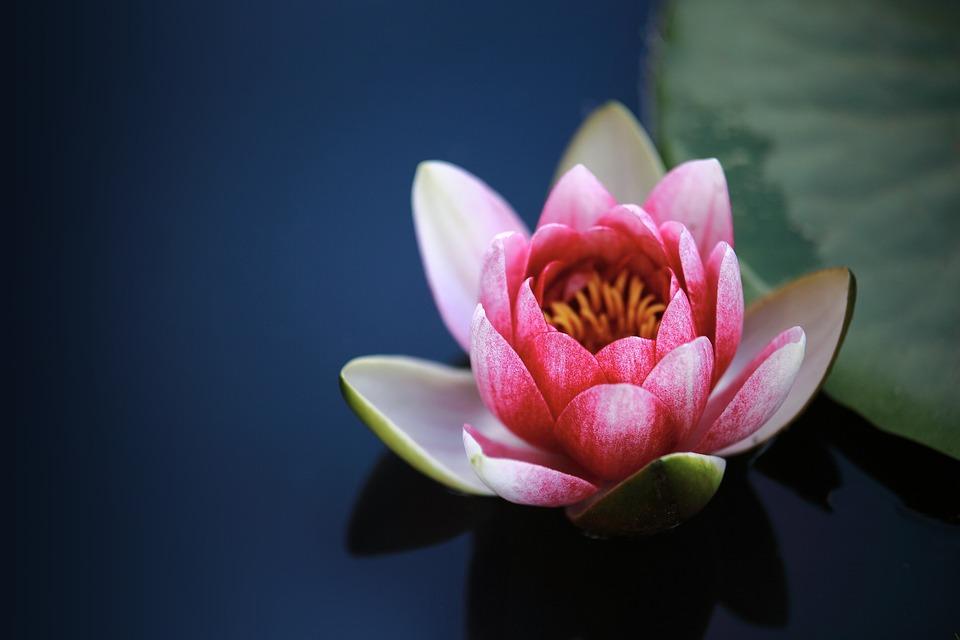 Water Lily, Pond, Flower, Pink Flower, Petals