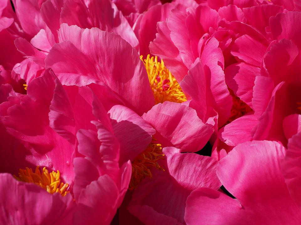 Peony, Blossom, Bloom, Pink, Flower, Petals, Colorful