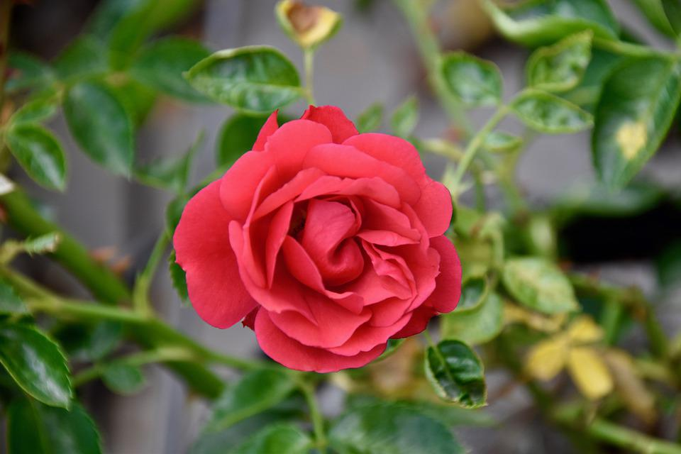 Flower, Pink, Red Rose, Thorns, Petals, Plant, Offer